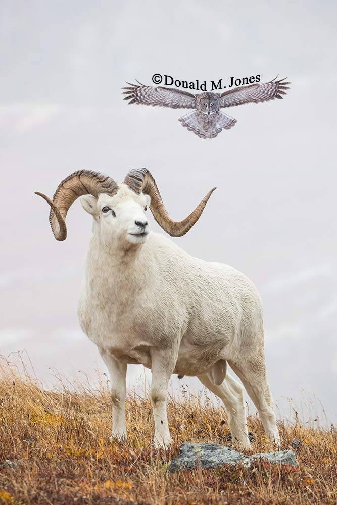 Dall-Sheep02239D