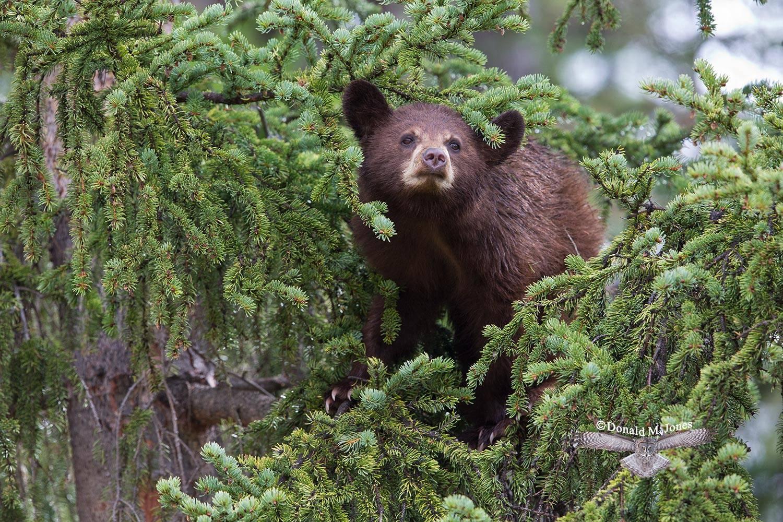 Black-Bear06357D