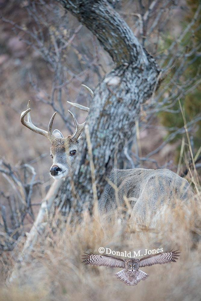 Coues-Whitetail-Deer1152D