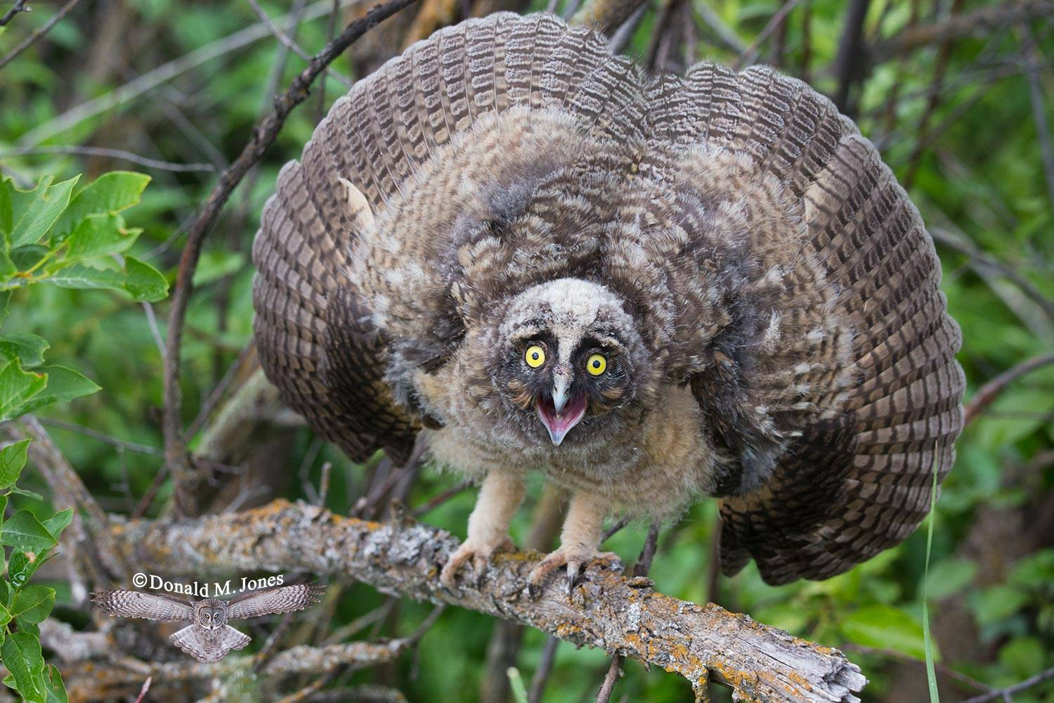 Long-eared-Owl0127D
