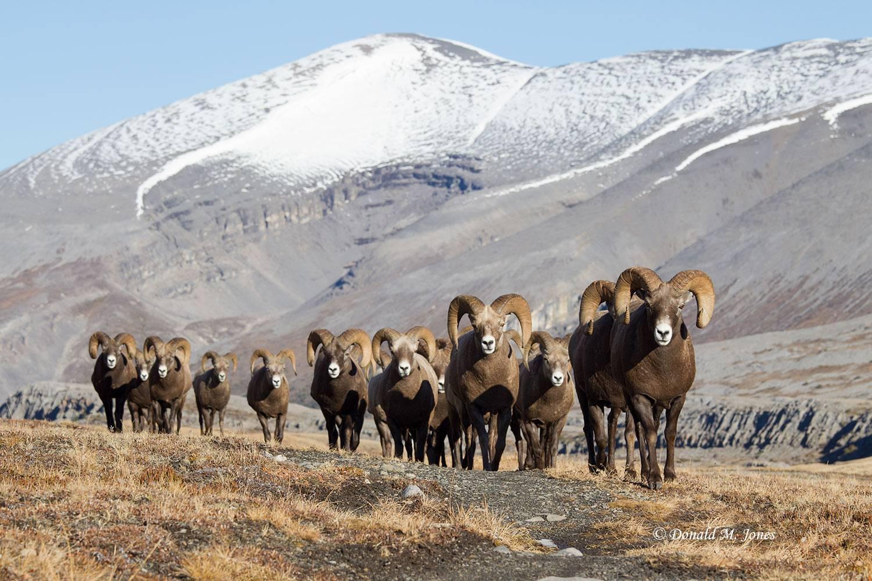 Bighorn-Sheep05145D