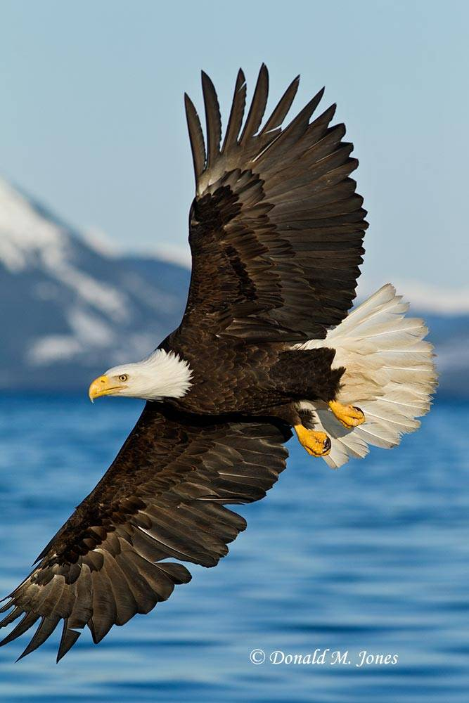 Bald-Eagle0830D