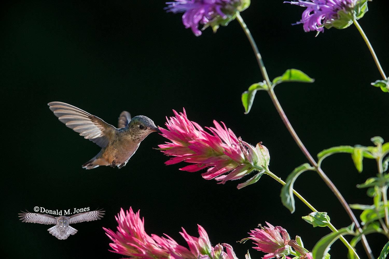 Calliope-Hummingbird0410D