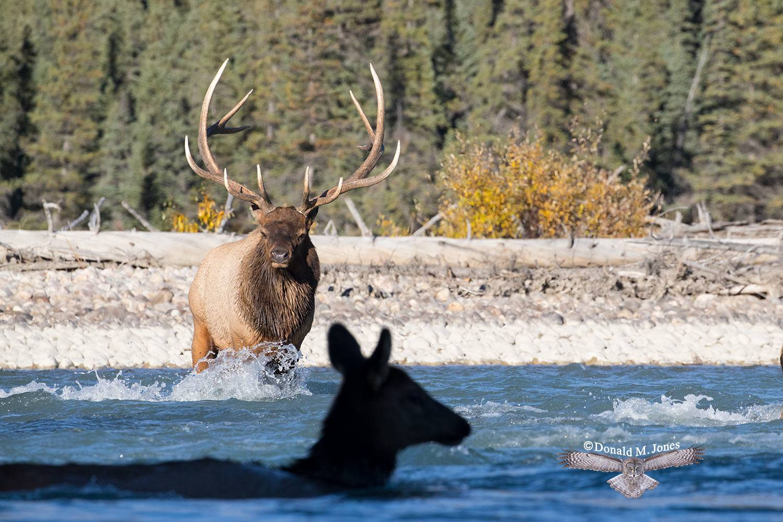 Elk-(Rocky-Mtn)24819D