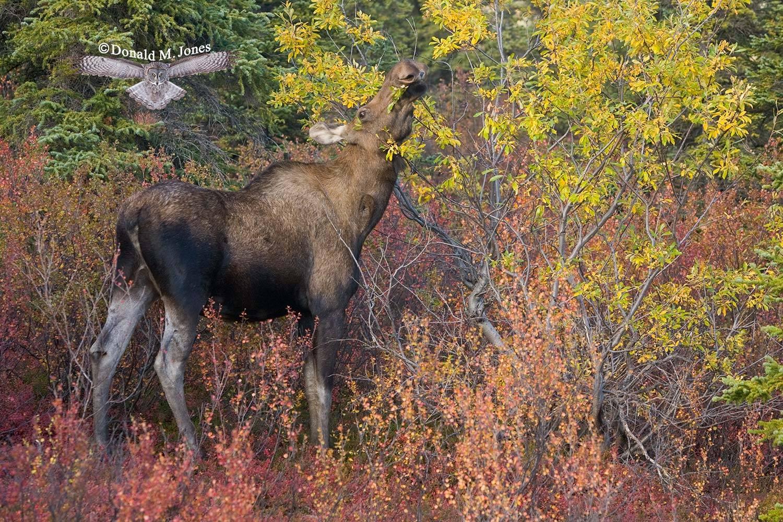 Moose02858D