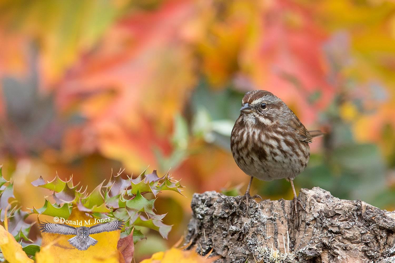 Song-Sparrow0384D