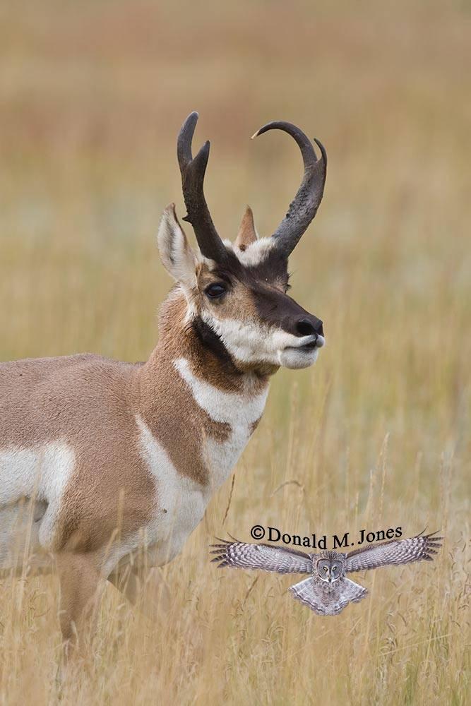 Pronghorn-Antelope03277D