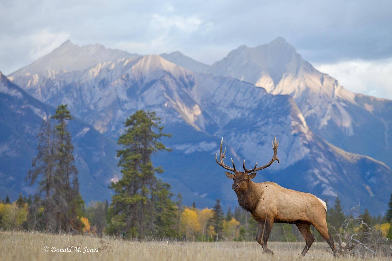 Elk-(Rocky-Mtn)21146D