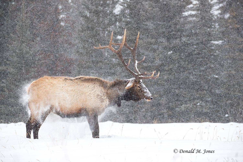 Elk-(Rocky-Mtn)27446D