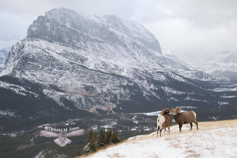 Bighorn-Sheep04209D
