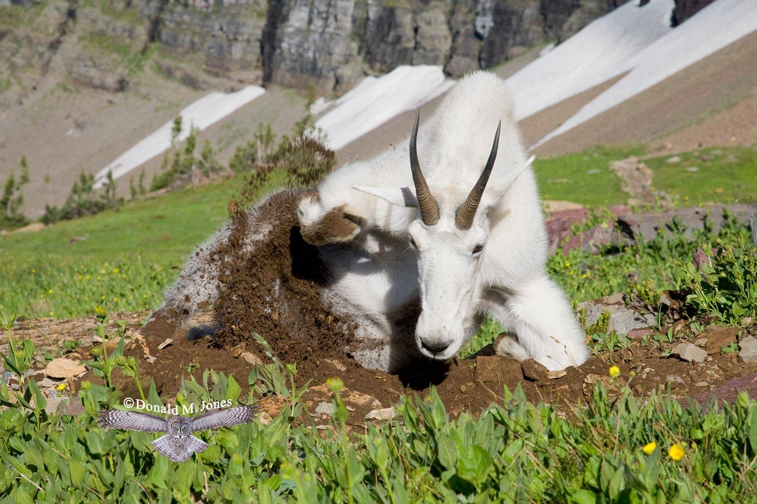 Mountain-Goat02045D