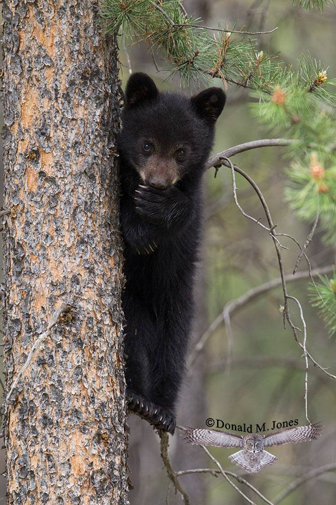 Black-Bear07786D