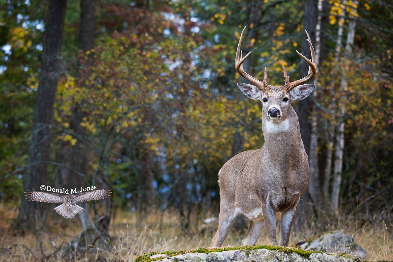 Whitetail-Deer48557D