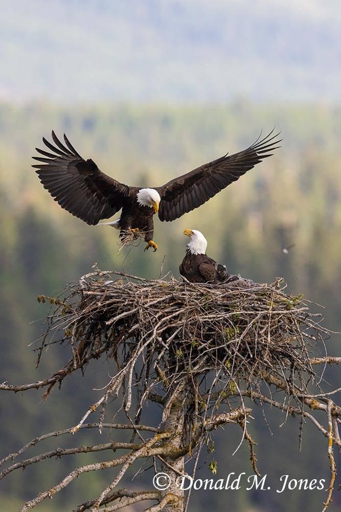 Bald-Eagle1178D