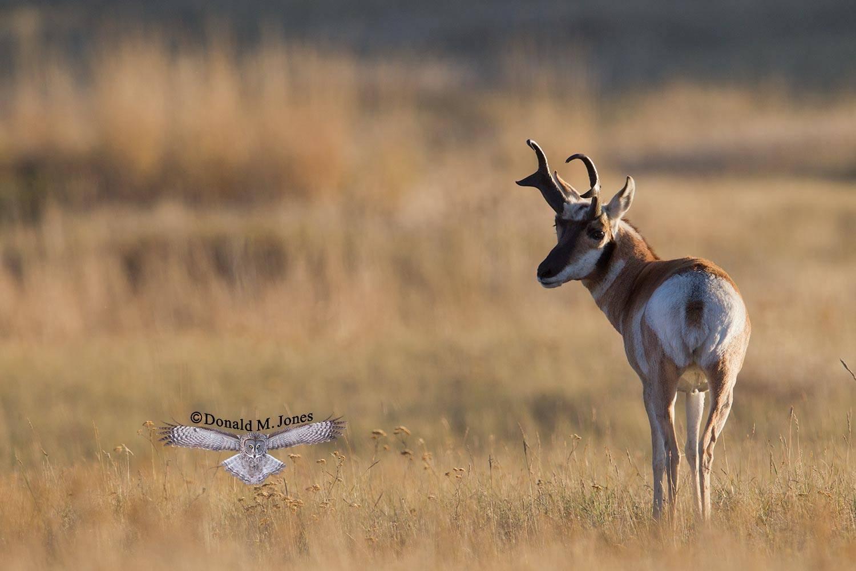 Pronghorn-Antelope04384D