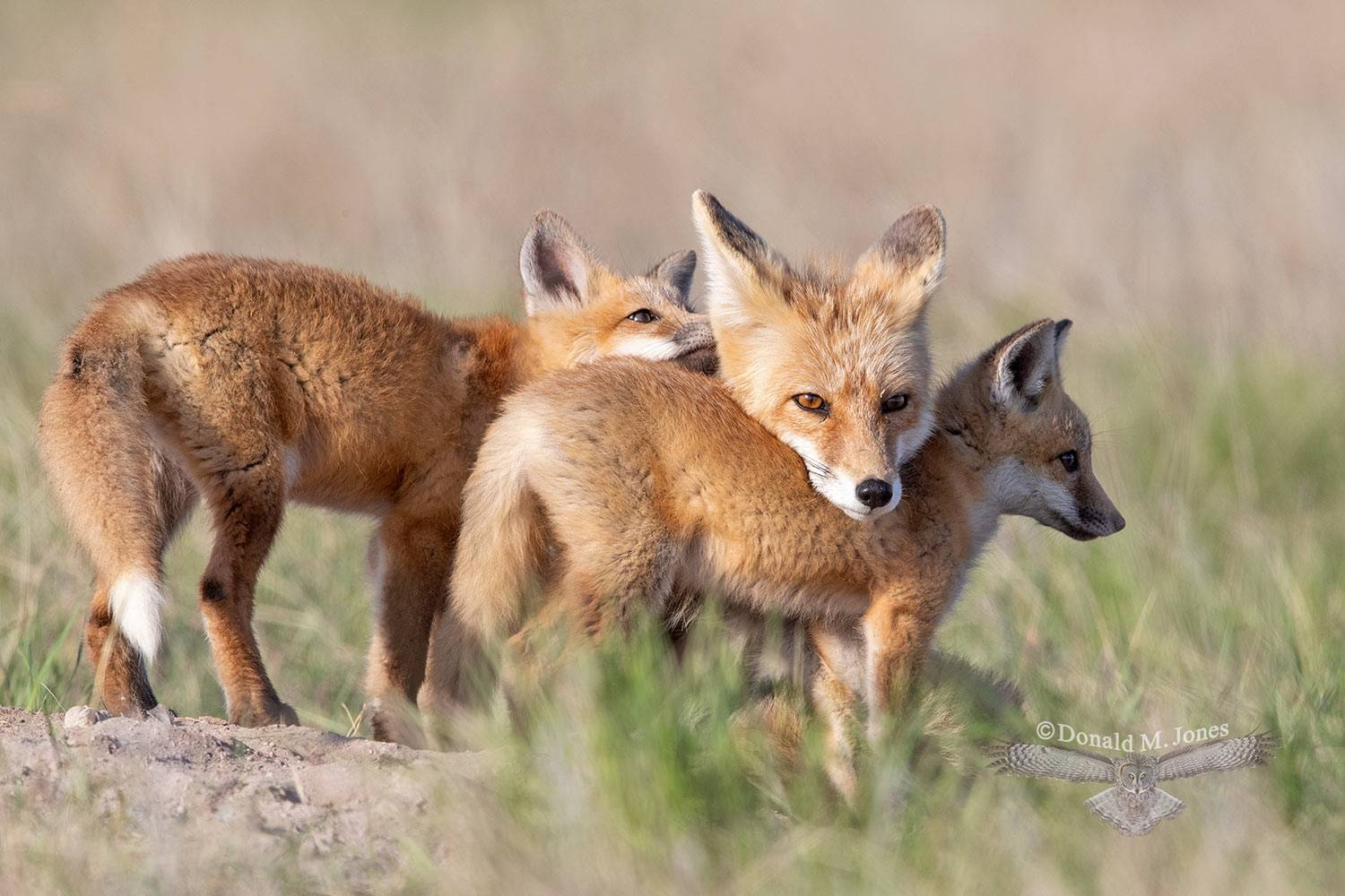 May 14 Red Fox Mother and Kits