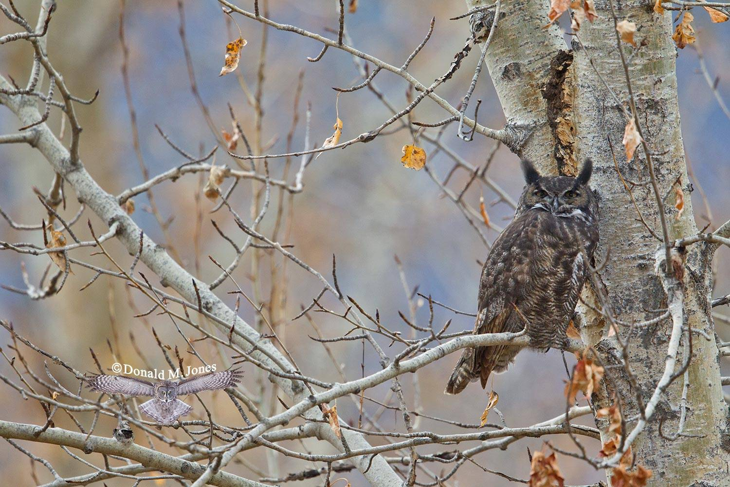 Great-Horned-Owl0232D