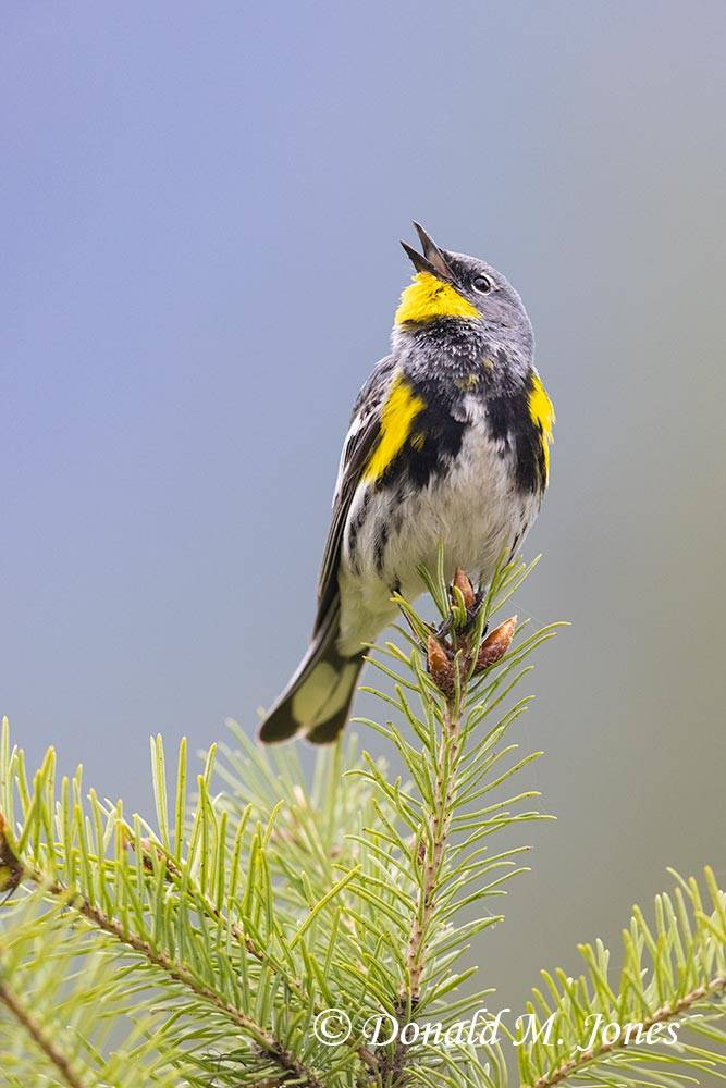 Yellow-rumped-Warbler0419D