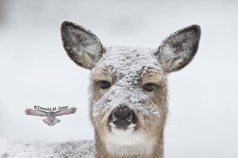 Whitetail-Deer35499D