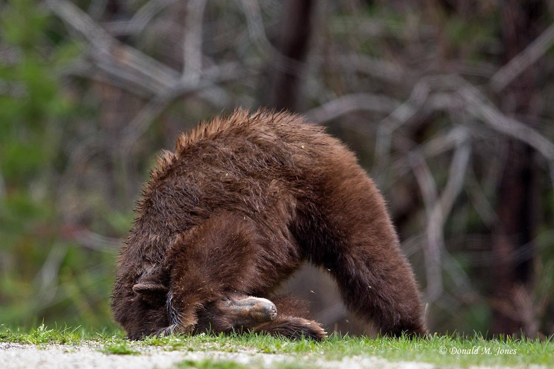 Black-Bear06245D