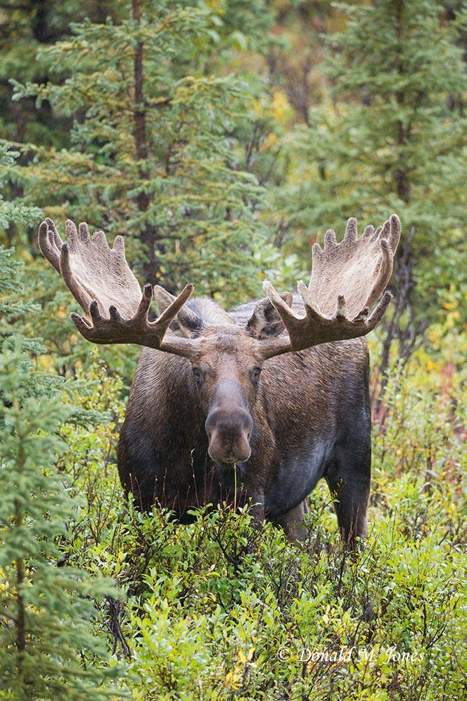 Moose05581D