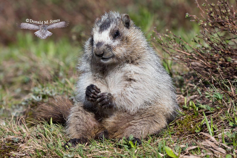 Hoary-Marmot0506D
