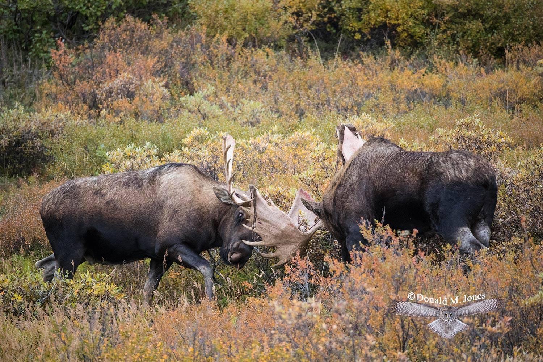 Moose05991D