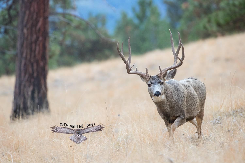 Mule-Deer11386D