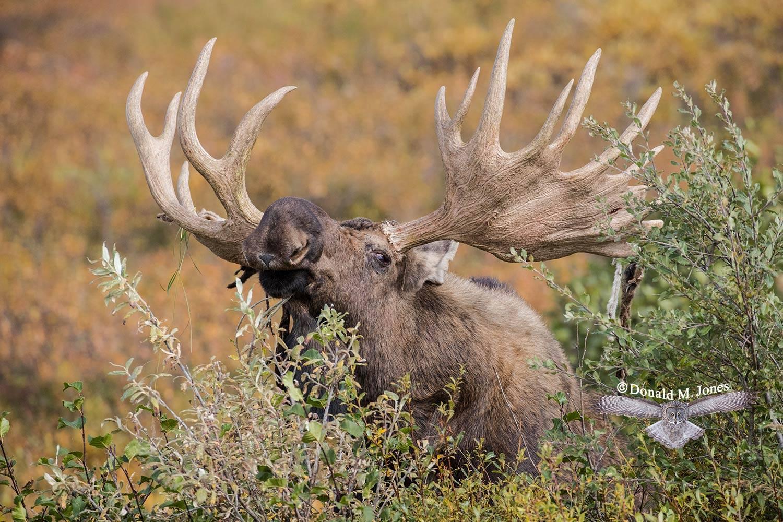 Moose06046D