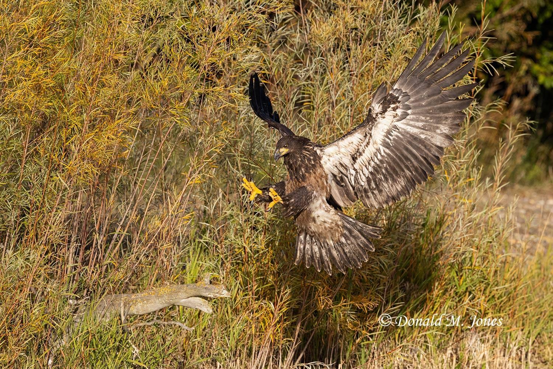 Bald-Eagle1202D