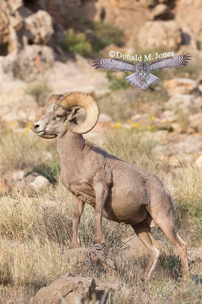 Desert-Bighorn-Sheep00786D
