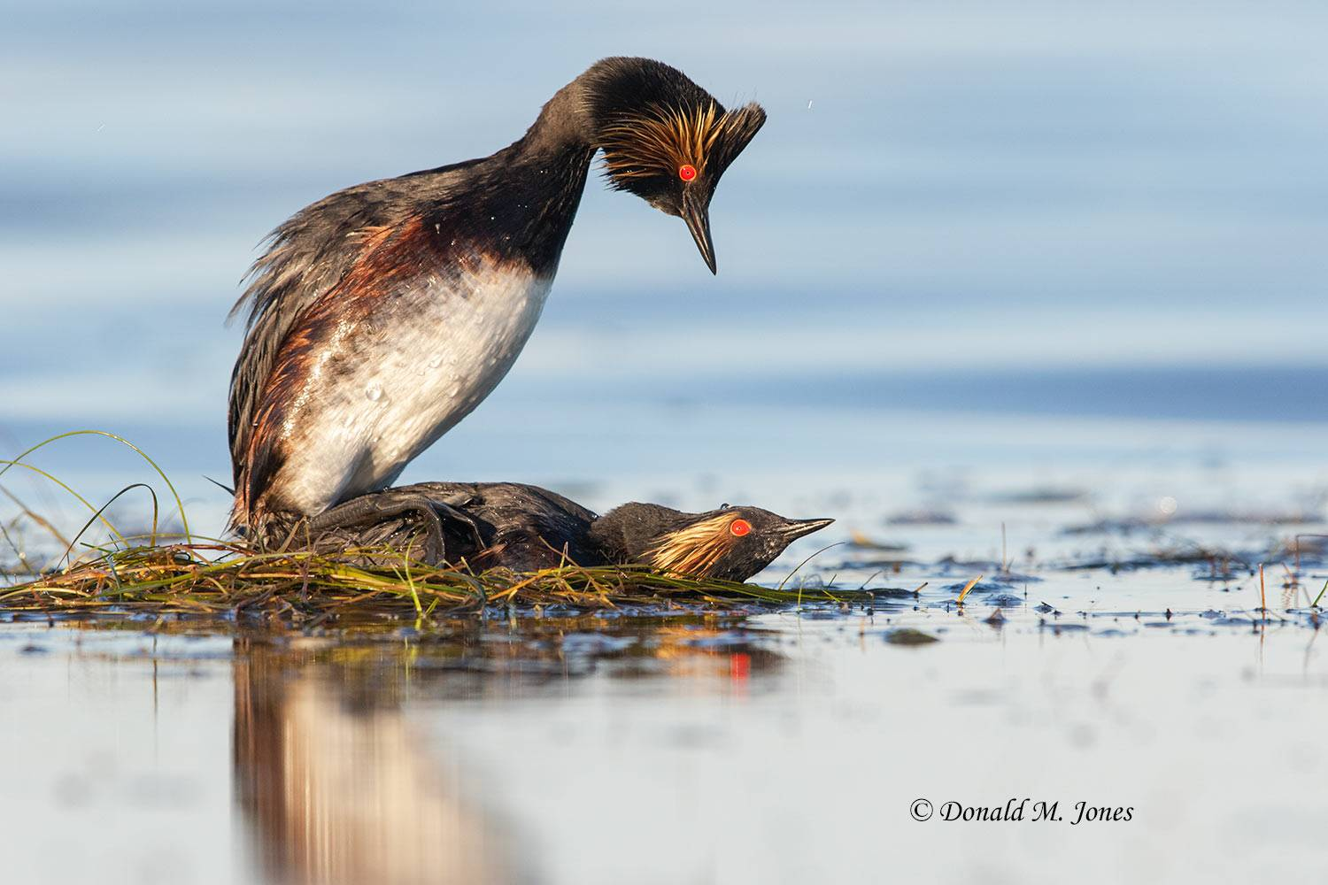 May 28, Eared Grebes breeding