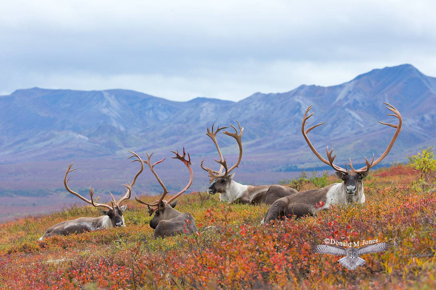 Barren-Ground-Caribou02926D