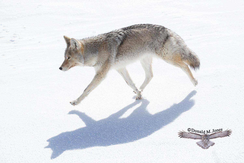 Coyote2645D