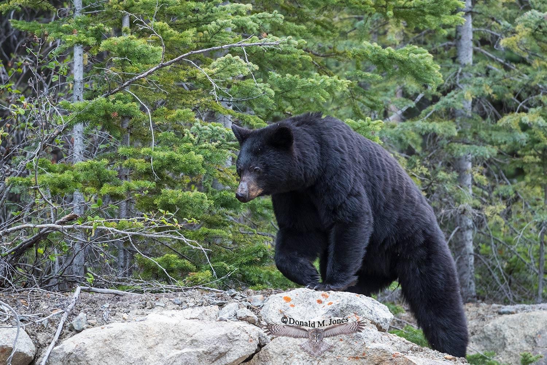 Black-Bear07489D