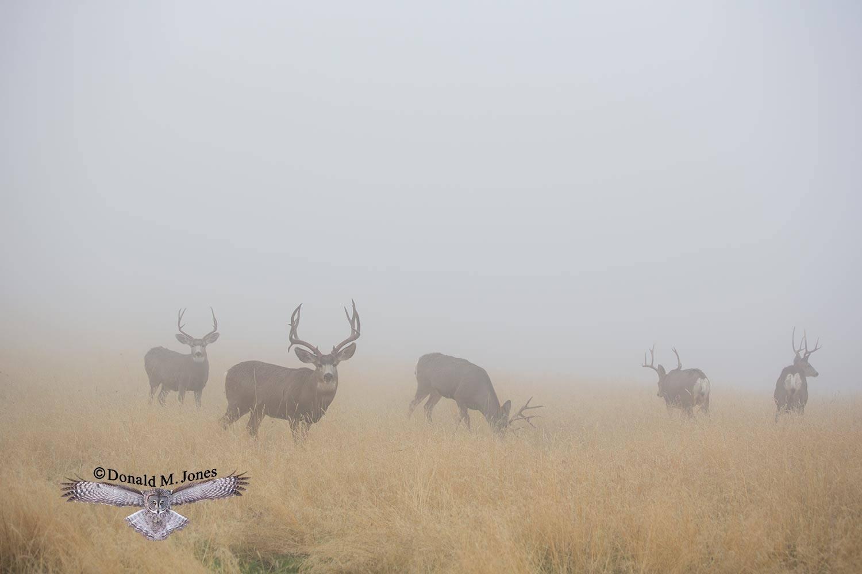 Mule-Deer10488D