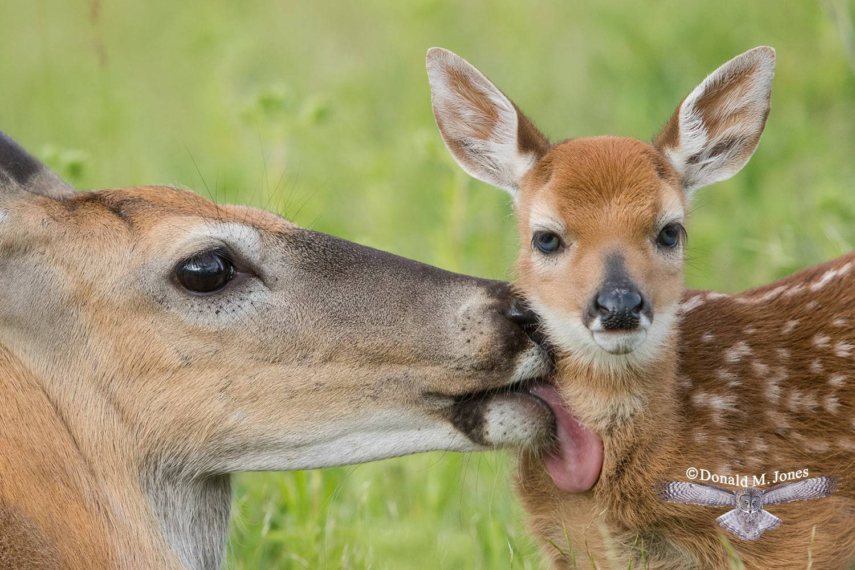 Whitetail-Deer57370D