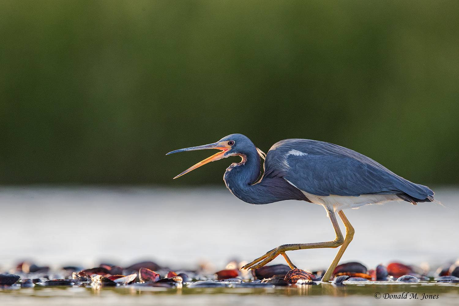 Tricolored-Heron0134D