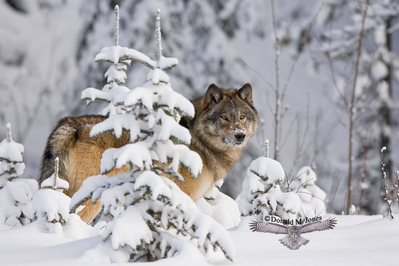 Wolf0410D