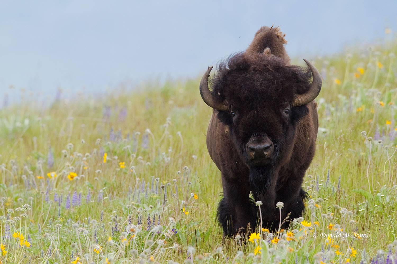 American-Bison01305D