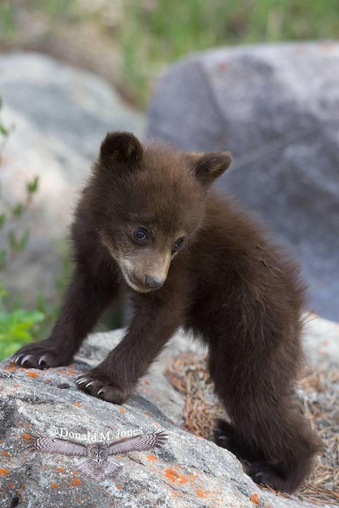 Black-Bear04660D