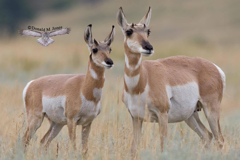 Pronghorn-Antelope03240D