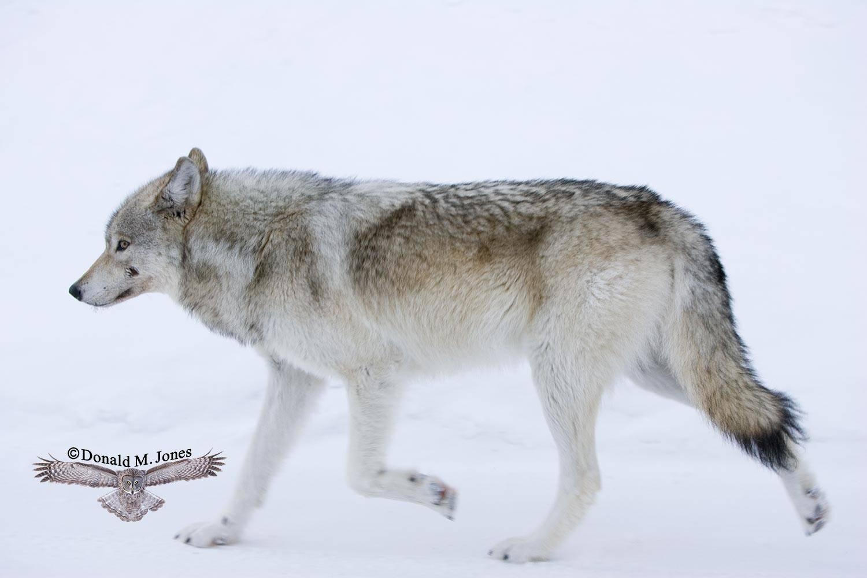 Wolf0565D