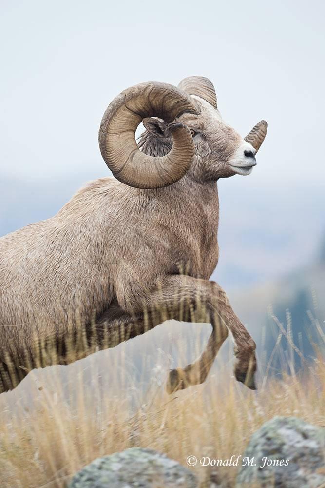 Bighorn-Sheep05091D