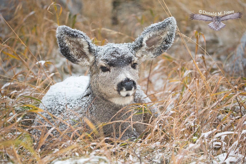Mule-Deer09664D