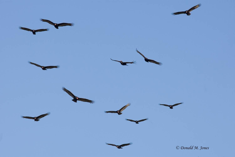 Turkey-Vulture0171D