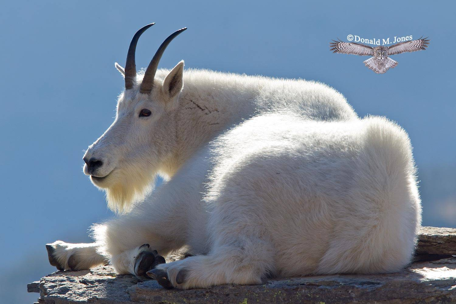 Mountain-Goat02130D