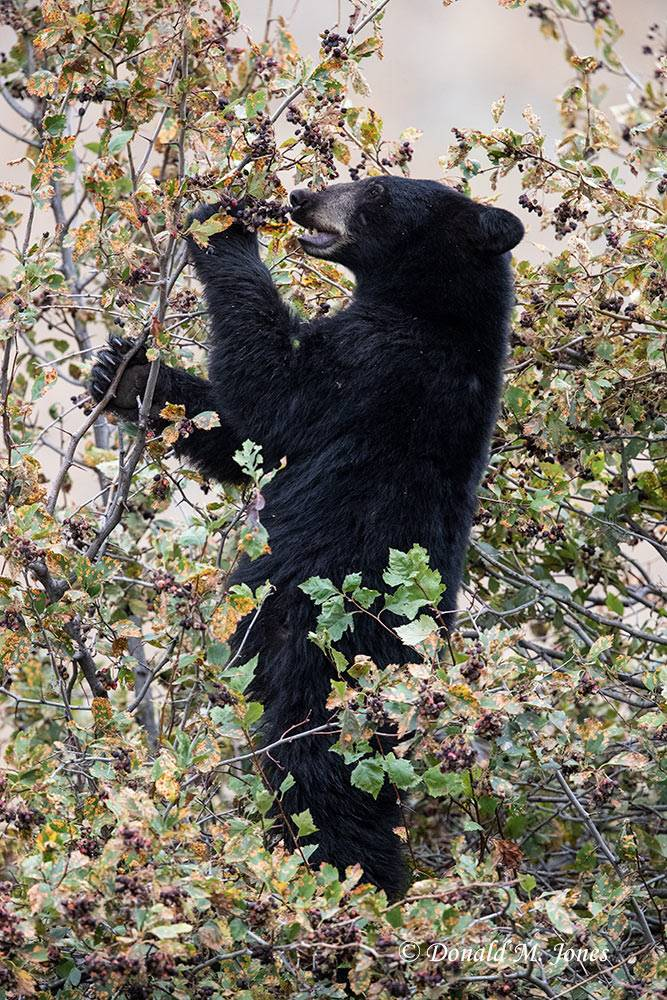 Black-Bear08397D