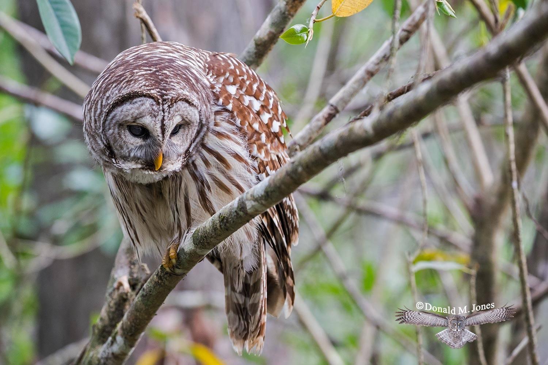 Barred-Owl0185D