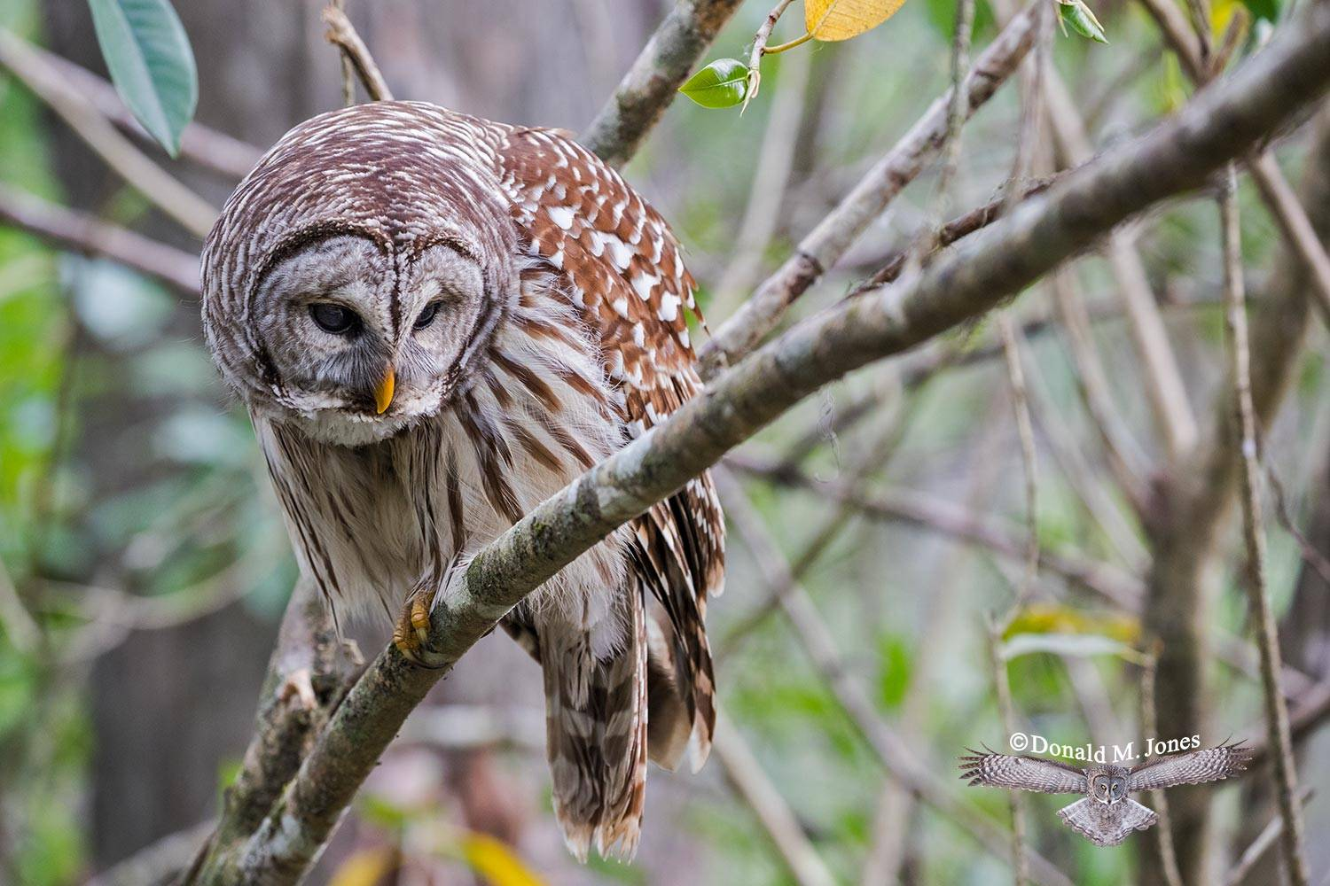 Barred-Owl0185D